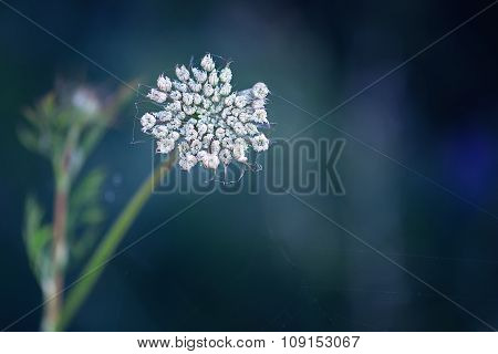Queen Anne's Lace in a Web