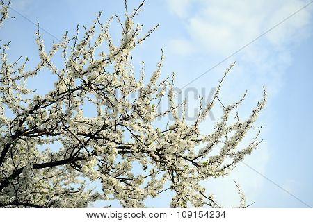 Caucasian Plum White Blossom And Blue Sky