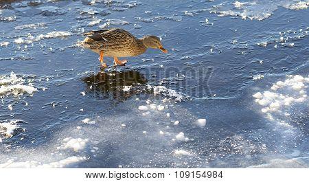 Female Mallard Walking On Thin Ice