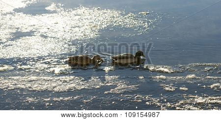 Mallards In Icy River