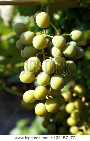 Bunches of green grape on plantation closeup