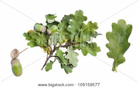 Oak Leaf, Branch And Acorn