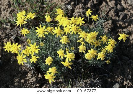 Narrow-leaved Goldenweed - Stenotus stenophyllus