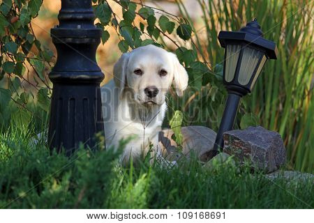 Cute Little Nice Yellow Labrador Puppy In Autumn