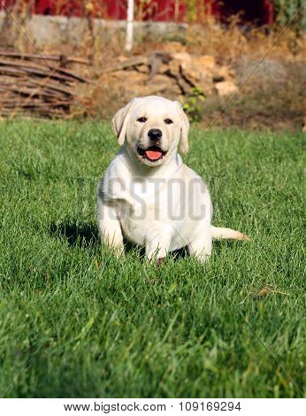 The Little Nice Yellow Labrador Puppy In Autumn