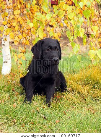 The Little Nice Black Labrador Puppy In Autumn