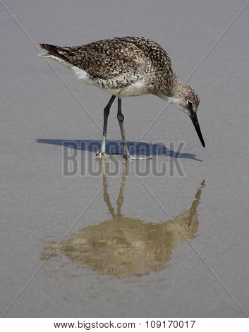 Sandpiper roams the beach