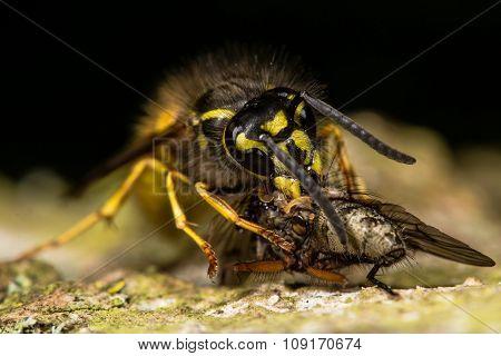 Common wasp (Vespula vulgaris) with prey