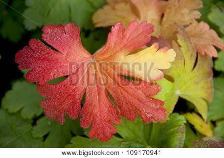 Autumn leaves of the plant with ice crystals