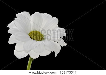 Single white camomile on a black background