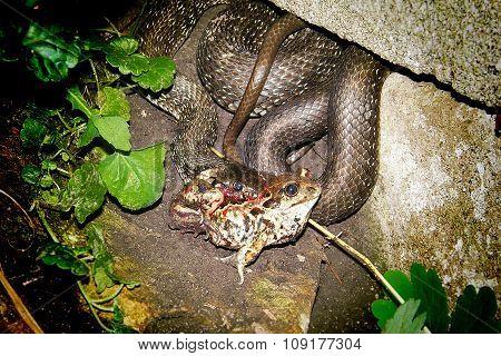 Snake Dinner