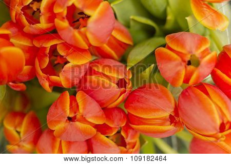 Orange Unicum Tulips