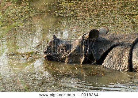 wild Rhinoceros unicornis
