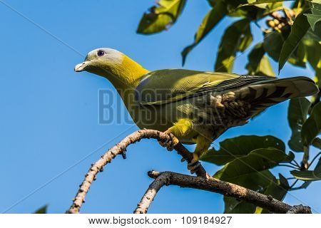 Green Footed Pigeon