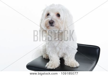 Maltese Puppy, 12 Months Old, Sitting In Front Of White Background