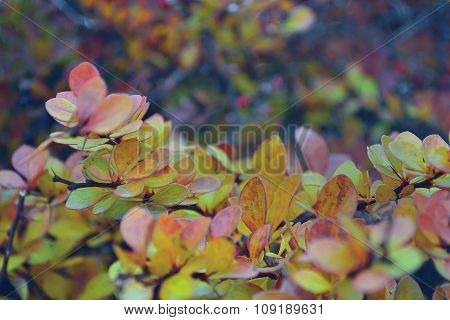 Autumn harvest of wild rose bush