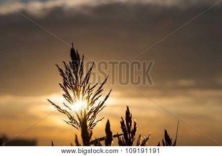 Sun Backlighting Common Reed