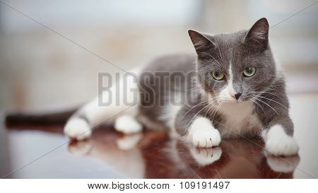 Thoughtful Domestic Cat Of A Smoky-gray Color