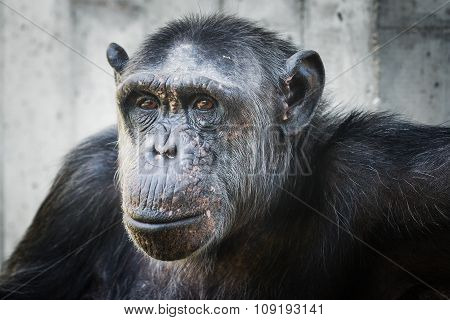 Portrait Of A Chimp