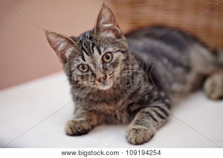 Nice Striped Domestic Kitten