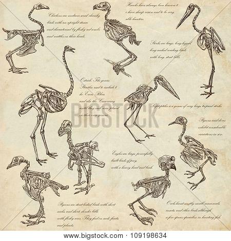 Bones, Skulls Of Different Birds - Freehands