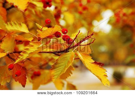 Branch with colourful leaves and berries, close up