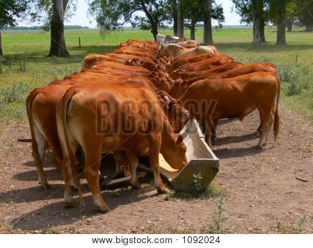 Cattle Eating