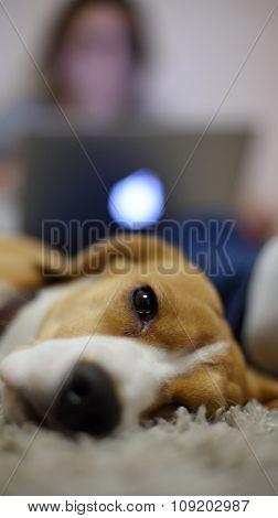Close Up Of Beagle Dog