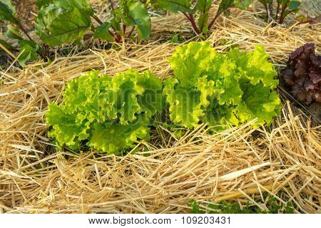 Organic agriculture of lettuce with crop rotation