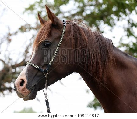 Beautiful Chestnut Horse Head On Meadow Summer Time