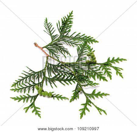 Ttwig Of Thuja With Green Cones