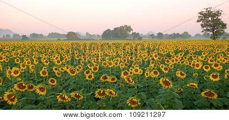 Sunflower Field Against Beautiful Sky Background