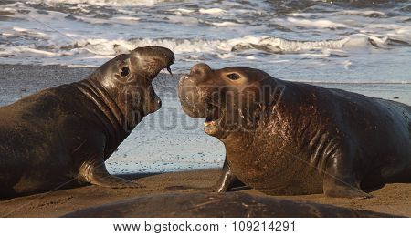 Elephant Seal Bulls Interacting During Courtship Season In Spring