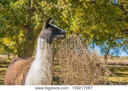 Llama Nibbling Tumbleweed