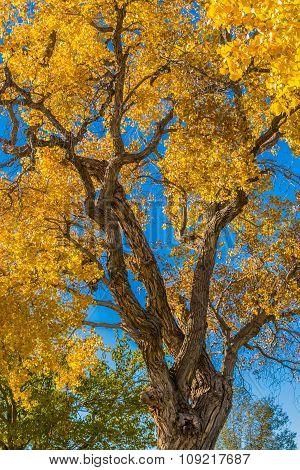 Golden Cottonwood