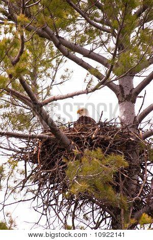 Wild Bald Eagle On Nest