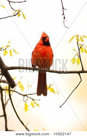 Wild Cardinal Perched On Branch
