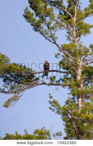 Wild unreifen Weißkopfseeadler oben hoch In einem Baum