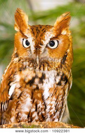 Captive Screech Owl Closeup