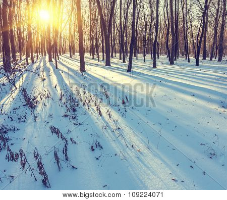 Sunset in the wood between trees strains, winter
