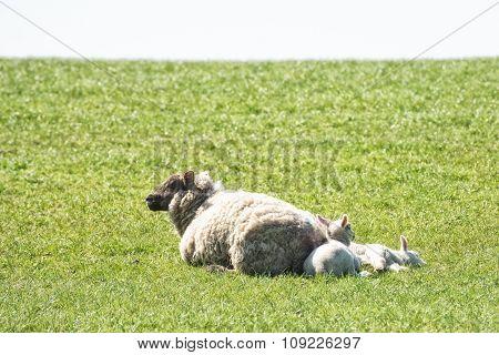 Sheep and baby lambs