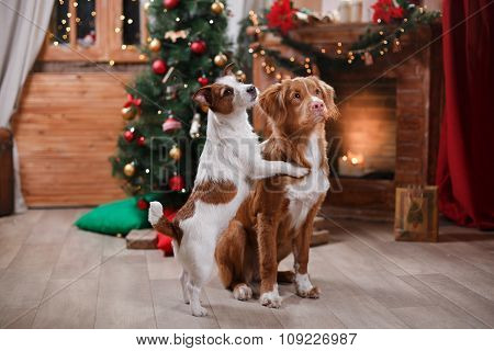 Dog Jack Russell Terrier And Dog Nova Scotia Duck Tolling Retriever Holiday, Christmas