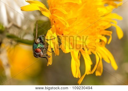 Green Bottle On Dandelion