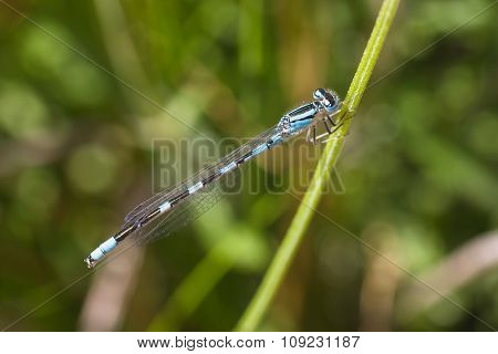 Blue Damselfly On Stem