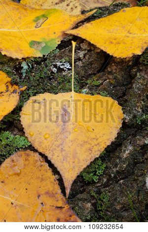 Close golden leaves in autumn for background