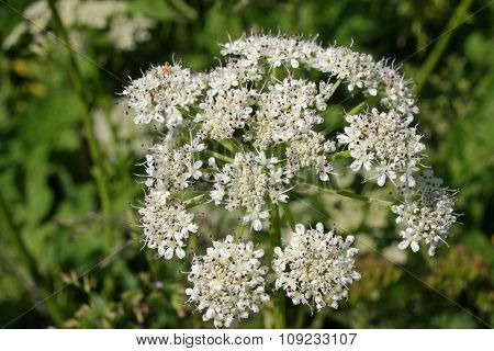Common hogweed flowers