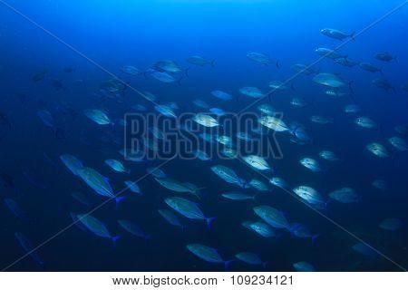School Tuna Trevally fish