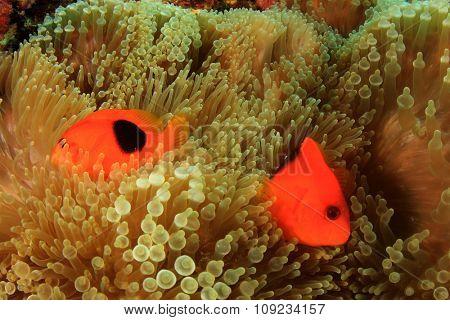 Tomato Clownfish Anemonefish