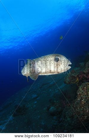 Yellowspotted Burrfish (Puffer pufferfish porcupine fish)