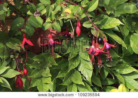 Beautiful shrub fuchsia with pink flowers